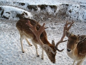 איילים בפארק ווילרק